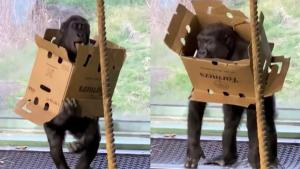 Kindi the Gorilla Has a Blast Wearing Cardboard Box at Kentucky's Louisville Zoo