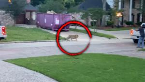 Is This Tiger Roaming a Texas Neighborhood With a Collar Someone's Pet?