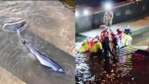 Hundreds Gather to See Whale Stuck in London's River Thames