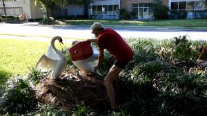 Baby Swans Reunited With Their Family After Man Is Charged For Stealing Them