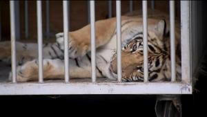 India the Tiger Sent to Animal Sanctuary After Roaming Texas Neighborhood