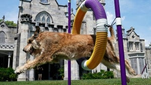 Westminster Dog Show Is Back and It's Outside for the 1st Time