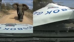 Enormous Elephant Charges Truck, Terrifying Driver in South Africa