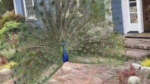 Hundreds of Peacocks Take Over California Town of East Pasadena