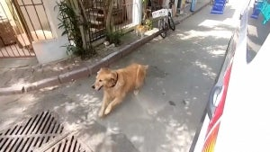 Golden Retriever Chases Ambulance With Owner In It to Hospital in Turkey
