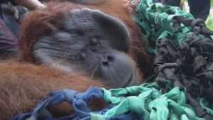 An Orangutan is Re-Released After Being Trapped in an Indonesian Village