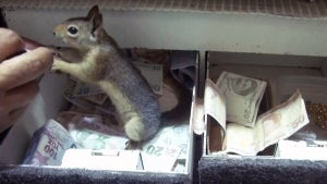 Feisty Squirrel Protects Jewelry Store Cash Register While Nursing Paw Injury