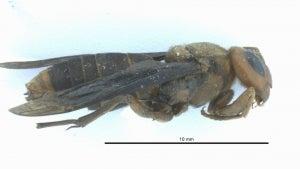 1st Asian Giant 'Murder Hornet' of 2021 Found in Washington State