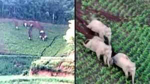Wandering Herd of Elephants Slides Down Hill and Destroys Crops in China