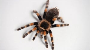 Tarantula Venom May Be Key to Chronic Pain Relief and the Opioid Crisis