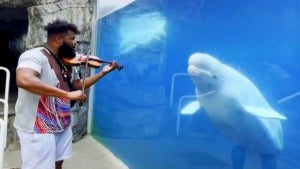 Beluga Whale Mesmerized by Musician Playing the Violin
