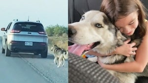 Husky Abandoned on Side of the Road Gets Adopted by Loving Family