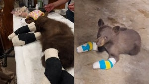 Bear Cub Recovering After All 4 Paws Burned in California Wildfire