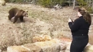 Woman Arrested at Yellowstone National Park for Getting Too Close to Bear: Cops