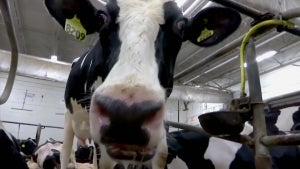 How Scientists in New Zealand Potty Trained Cows