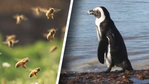 63 Penguins Killed by Swarm of Bees at Colony in South Africa