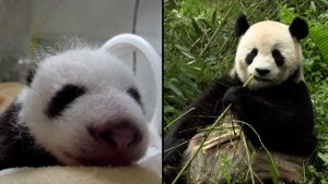 Panda Conservation Center in China Celebrates 24 Cubs Born in 2021