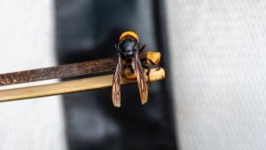 3rd 'Murder Hornet' Nest Found and Removed in Washington State