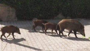 Packs of Wild Boar Have Become Common in Rome Suburbs