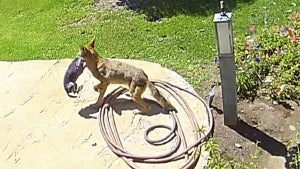Family Saves Chihuahua From Coyote's Jaws With Airhorn
