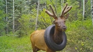Elk Has Been Living With a Tire Around Its Neck for Years