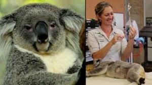 400 Koalas Will Be Part of Chlamydia Vaccine Trial in Australia