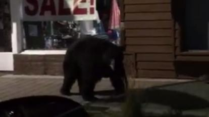 A curious bear checks out closed store fronts.