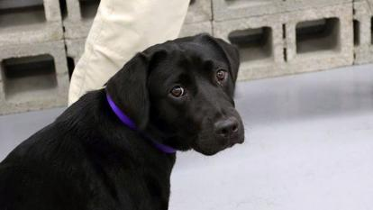 Lulu the black lab now enjoys her days in the comfort of her handler's home.