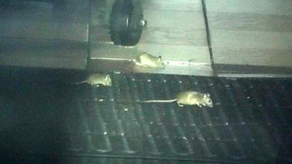 Rodents seen inside NYC restaurant