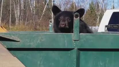 One of the two bears pop out of the large dumpster.