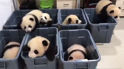 Seven panda cubs squirm in their bins.