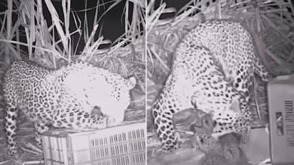 A mother leopard sniffs around a crate before noticing her cubs inside.