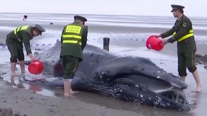 Authorities splash the beached humpback whale with sea water.