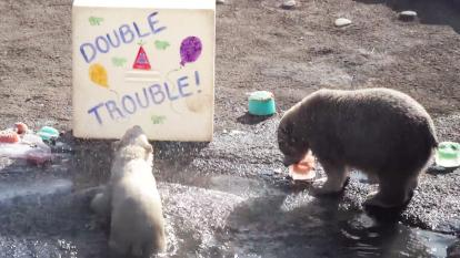 Cubs Neva and Nuniq play with a block of ice with a birthday message painted across.