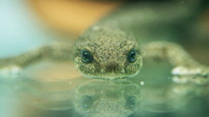 The Montseny newt is known as the rarest amphibian in Europe.