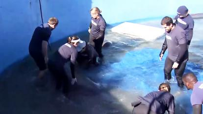 A team from Miami Seaquarium are gathered around Naboo the manatee.