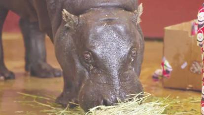 Francesca, a 26-year- endangered pygmy hippo, makes her big debut at the Oklahoma City Zoo.