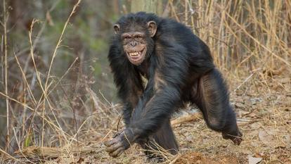 A former research chimp roams free in an outdoor sanctuary for the first time.