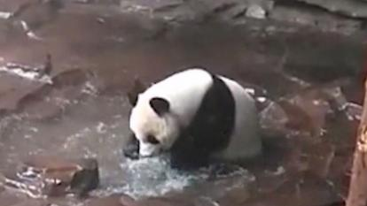 This panda loves to splash around in the bath.
