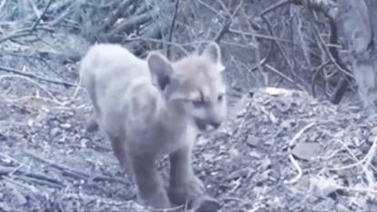 A newborn cub was caught on camera exploring the Santa Monica Mountains.