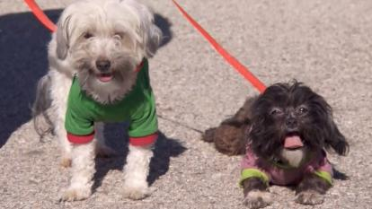 "A black Maltese and the white Maltese were found in the Turpin home ""in very good shape."""