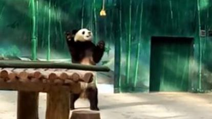 Panda cubs showed off their skills as they romped around a playground at a zoo in China.