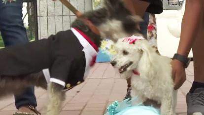 Two dogs are married during an annual event that encourages pet owners to spay and neuter their dogs.