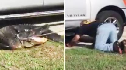 A trapper searches under a pick-up truck to wrangle an alligator.
