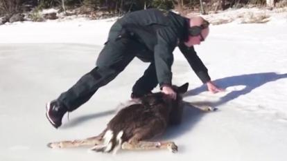 A border agent slips on ice while rescuing the baby deer.