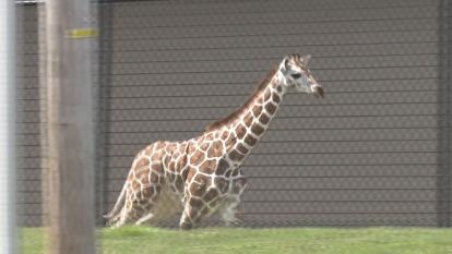 Thabisa galloped around the parking lot after escaping her enclosure Monday.