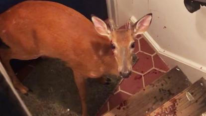 A deer ended up trapped in the stairwell after somehow ending up in a family's home.