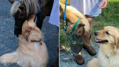 An abused tiny horse was befriended by gregarious golden retriever.