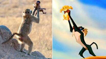 "Monkey lifts infant just like ""The Lion King"""