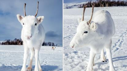 This rare white reindeer was photographed by a hiker in Norway.